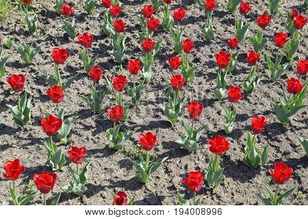Red Flowers Of Tulips On A Flower Bed. A Flower Bed With Tulips