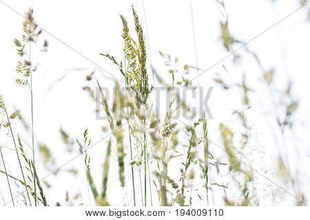 flowering grass in detail -  pollen allergens
