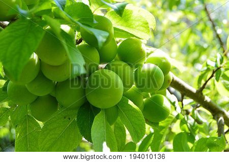 Plum paintings, fresh green plum pictures on the plum tree,