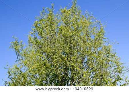 Willow Tree. A Blossoming And Blooming Willow Tree In The Spring Against The Sky.