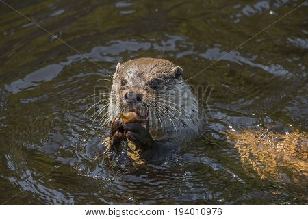 otter - Lutra lutra eating a fish