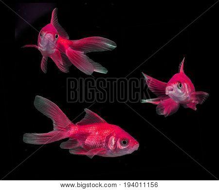 Carassius auratus auratus - gold fish - aquarium fish on black background
