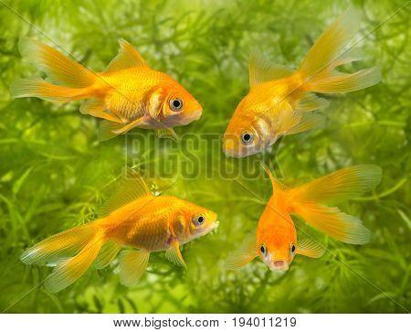 Carassius auratus auratus - an aquarium fish