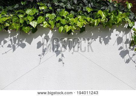 Urban landscaping with green ivy trailing down wall with shadows and copy space