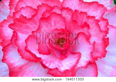 A close up image of a non stop begonia flower