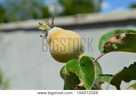 Raw quince in the branch, unripe quince fruit pictures in the quince tree,