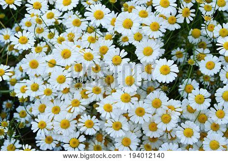 Natural daisies, daisies, hundreds of daisies, white daisies