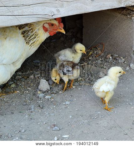 Tiny chicken pups are fed out of the poultry,