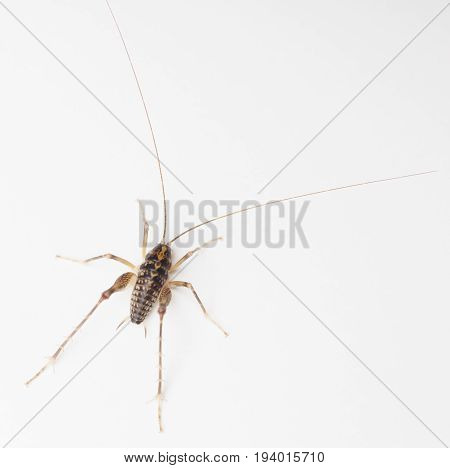 Overhead view of a Large Camel Cricket on a white background.