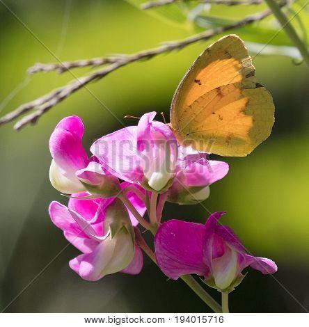 Sleepy Orange (Eurema nicippe) butterfly on Sweet Pea flower