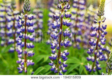 Lupine flowers in summer garden