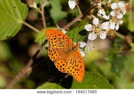 A silver washed fritillary butterfly (Argynnis paphia) on a flower.