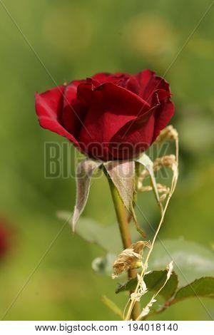 flora, nature, plants, flowers, rose, summer, beauty, flower, gift, petals