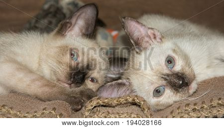 Two adorable Siamese kittens lying down on their sides.