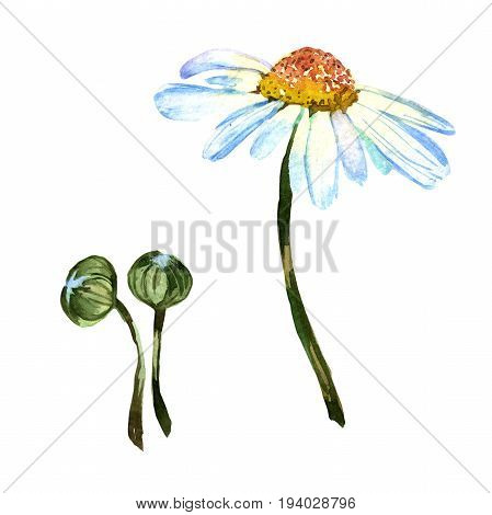 Wildflower daisy flower in a watercolor style isolated. Full name of the plant: daisy. Aquarelle wild flower for background, texture, wrapper pattern, frame or border.