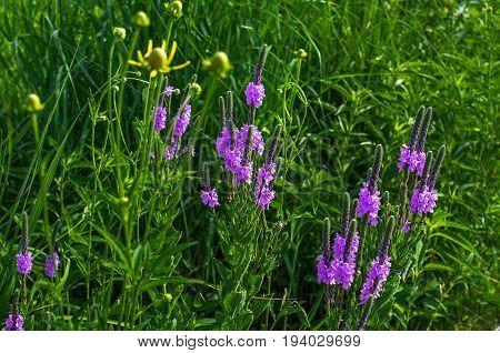 Hoary Vervain (Verbena Stricta) wildflower prairie garden