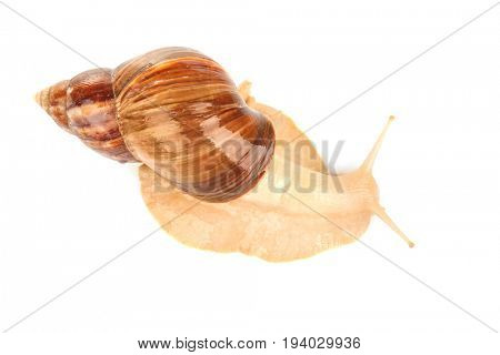 Giant Achatina snail on white background