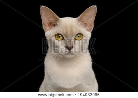 Portrait of Lilac Burmese Young Kitten isolated on black background, front view