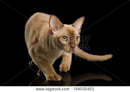 Playful Chocolate Burmese Cat Crouch and Looking up isolated on black background