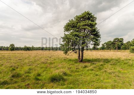 Picturesque image of a solitary Scots Pine in a Dutch nature reserve between grasses and heath on a cloudy day in the summer season.