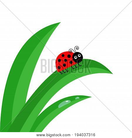 Ladybird Ladybug insect. Fresh green grass stalk close up. Water drop set. Morning drop set. Cute cartoon baby character. Garden nature decoration element Flat design White background. Isolated Vector
