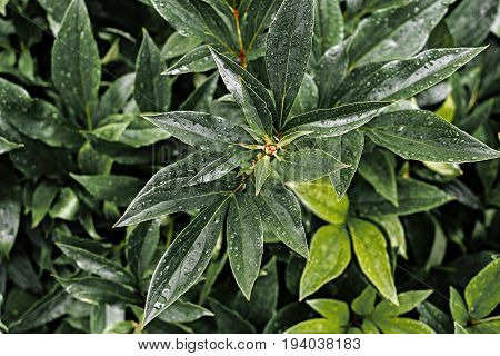 Background Of Fresh Green Peony Leaves With Raindrops. Peony Leaves With Drops Background. Green Bac
