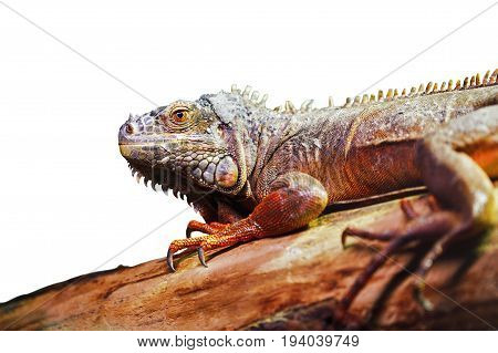 Closeup portrait of green American common iguana on a tree in zoo arboreal species of lizard reptile isolated on white background with copyspace
