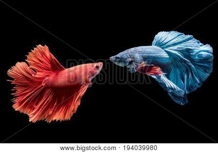Blue And Red Siamese Fighting Fish On Black