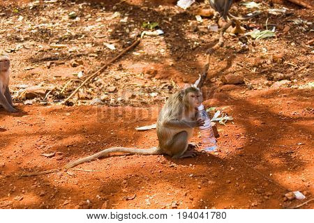 A wild monkey tries to open a bottle of water. Thailand.