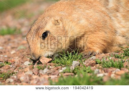 Prairie Dog eating some plants by some rocks