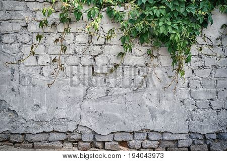 Grunge Grey Brick Wall Background With Green Ivy, Copy Space, Texture Pattern. Old Texture Of White