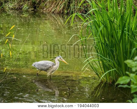 Wild stork wading a lake in the great outdoors