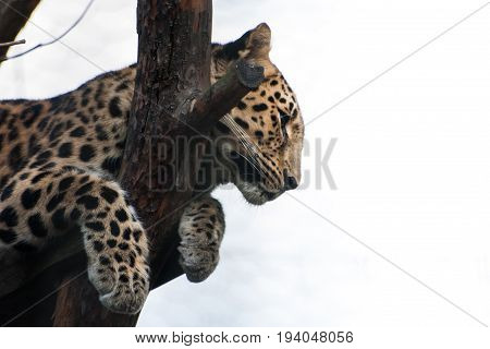 A Beautiful Leopard In The Zoo