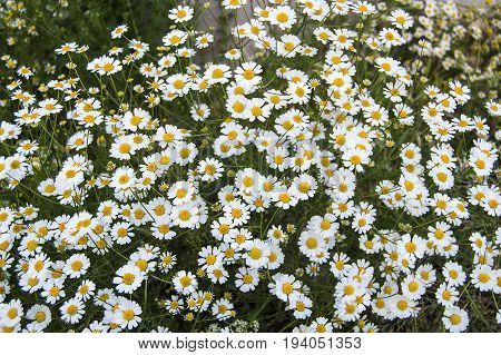 Natural daisy flowers and benefits, smelling chamomile flowers, pictures of human sniffing flowers