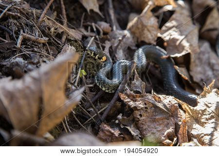 A Beautiful Grass Snake In Last Years Autumn Leaves