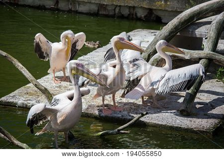Beautiful Pelicans In The Park
