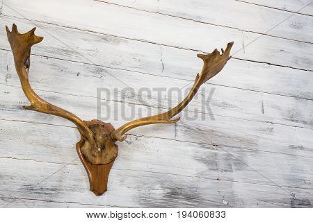 Moose antler hanging on wooden wall stock photo