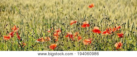 red Poppies in a spring cornfield in sunshine
