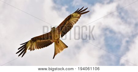 a red kite bird of prey in the sky