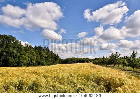 Landscape with a cornfield and blue sky on a summers day