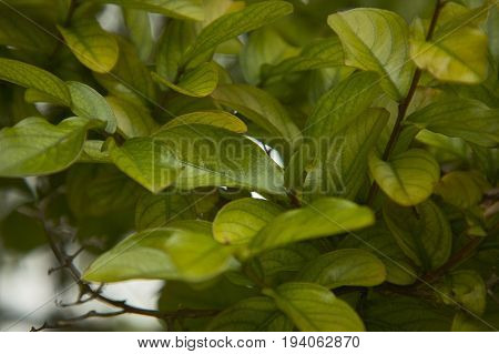 Young small leaves lit by the spring sunshine in a typical vegetation of northern Italy.