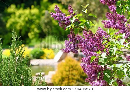 Lilac bush in botanical to a garden
