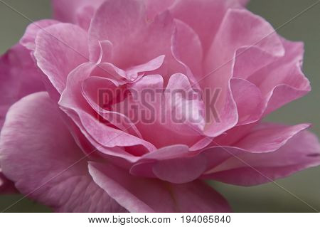 Detail of colorful petals of a rose in a magnifying detail full of details.