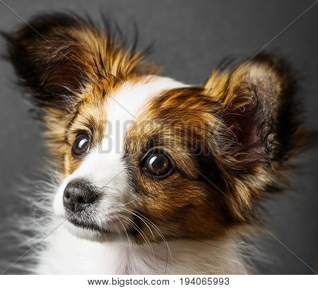 a cute papillon puppy isolated over black