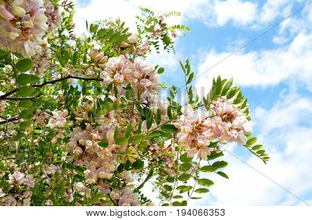 Abundantly blossoming scented inflorescences of robynia bush dubious (Robinia x ambigua) against background of blue summer sunny sky with white clouds. Closeup