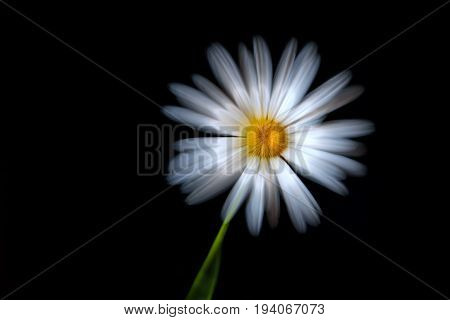 White beautiful daisy flower close-up on a black background shot with a silky soft effect with a zoom effect