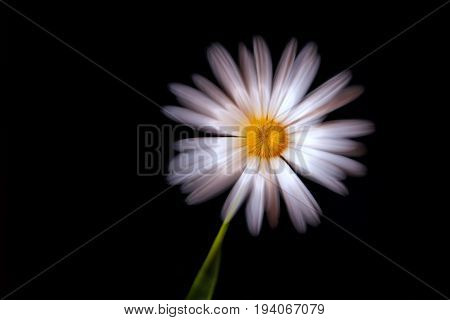 Beautiful daisy with a pink tint close-up on a black background shot with a silky soft effect with a zoom effect