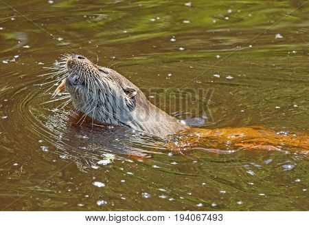 an otter - Lutra lutra in water