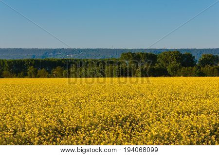 an explosion of yellow blooming of the rapeseed plant / a field of yellow rapeseed flowers illuminated by the sun