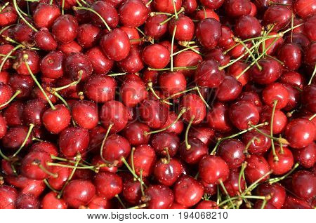Ripe fresh cherries with petioles, just ripped from tree, washed in water and ready for processing